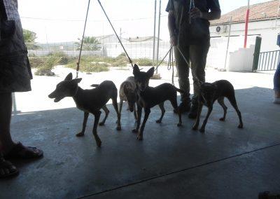 campeonato-habilidades-cachorro-podenco-2