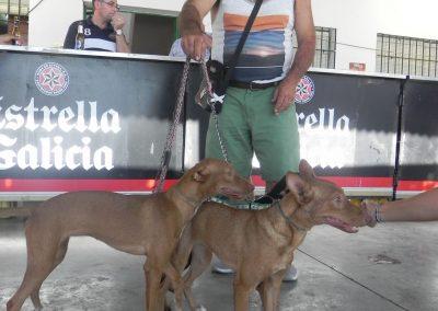 campeonato-habilidades-cachorro-podenco-3